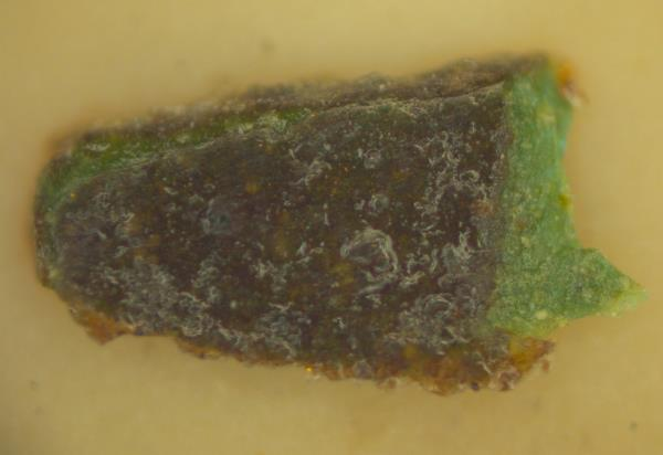 Image by optical microscopy: flat face of the sample at 200x of the inside of the cassock: green